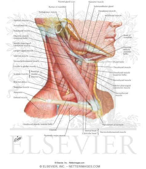 muscles of neck: lateral view, Muscles