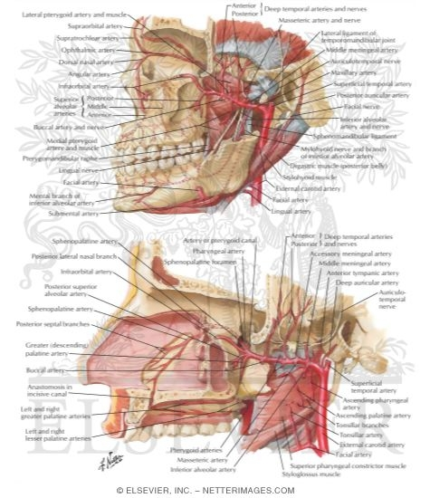 Arterial Supply of the Mouth and Pharynx II Maxillary Artery Blood ...