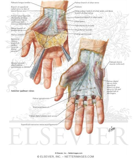 Wrist and Hand: Superficial Palmar Dissection
