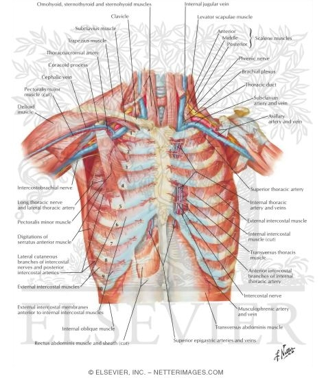 Anterior Thoracic Wall Anterior Wall of Thorax