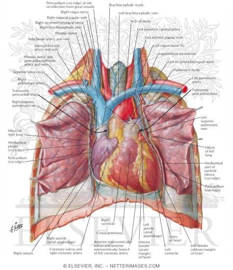 Heart Anterior Exposure Position Of The Heart Right Ventricle Anterior