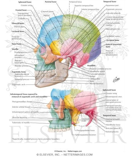 aspect of skull, Human Body