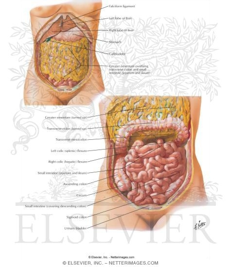 Greater Omentum And Abdominal Viscera Small Intestine I Topography