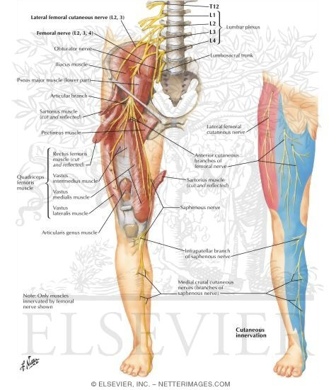 Femoral Nerve and Lateral Femoral Cutaneous Nerves