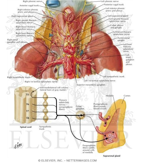 Nerves of Suprarenal Glands: Dissection and Schema