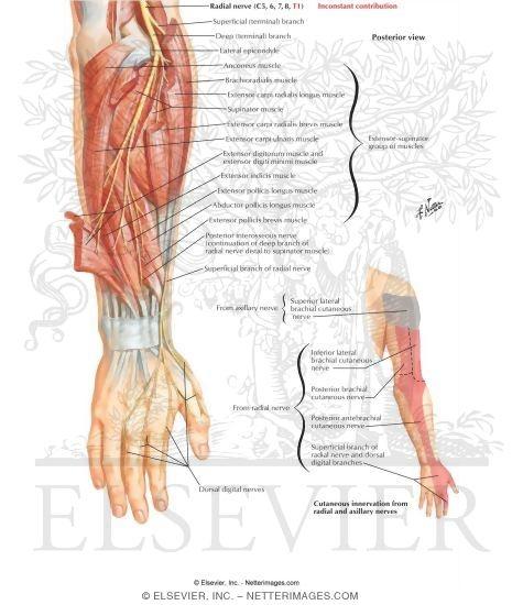 Radial Nerve in Forearm