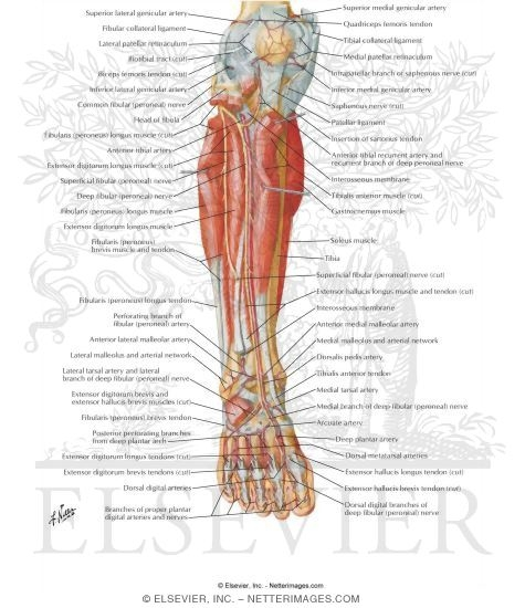 Arteries and nerves of leg deep dissection anterior view muscles muscles arteries and nerves of leg deep dissection anterior view muscles of leg deep dissection anterior view ccuart Gallery