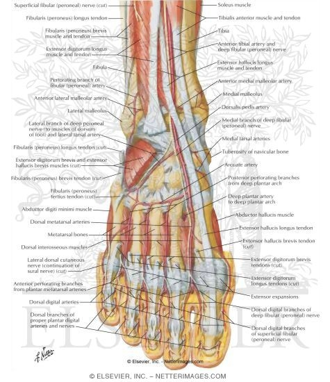 muscles, arteries, and nerves of front of ankle and dorsum of foot, Cephalic Vein