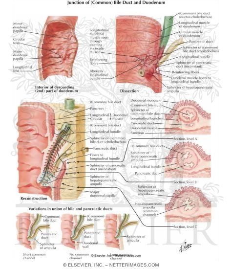 common bile duct anatomy. Junction of (Common) Bile Duct