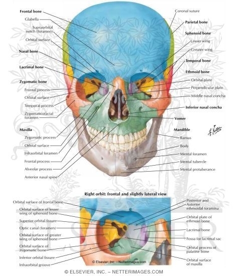 Diagram Of Anterior Skull Information Of Wiring Diagram