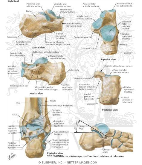 Anatomy of calcaneus bone