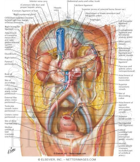 pregnant woman stomach diagram peritoneum of posterior abdominal wall