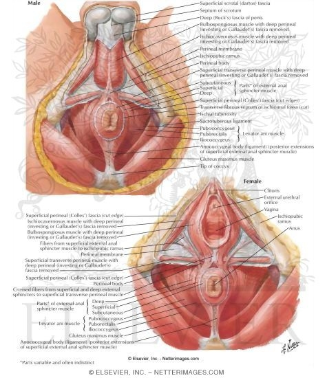 Anorectal Musculature External Sphincter and Levator Ani