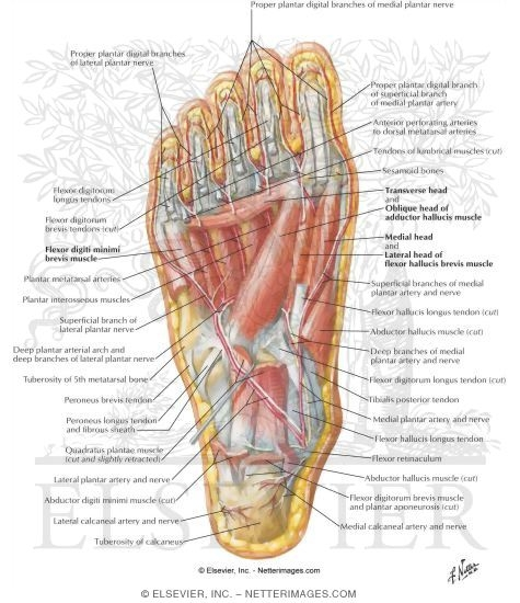 muscles of sole of foot: third layer, Human Body