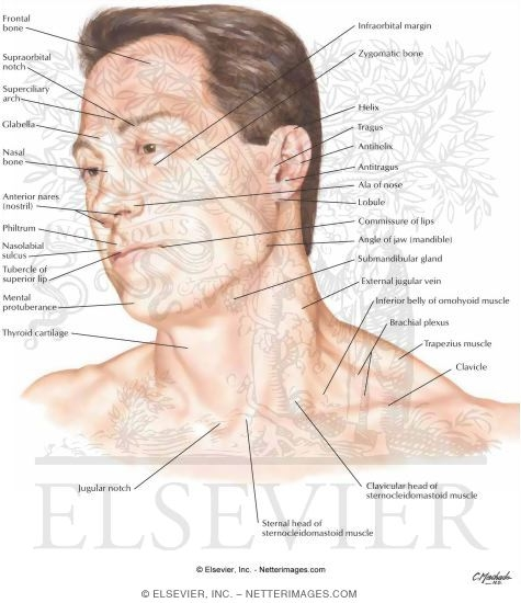 head and neck: surface anatomy, Human Body