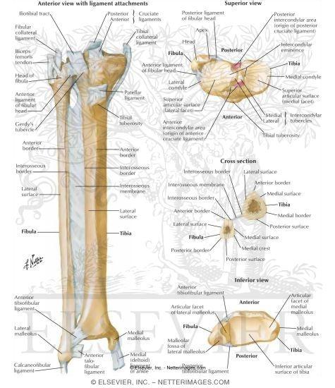 and fibula, Human Body