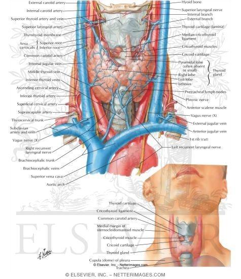 Thyroid Gland Anterior View