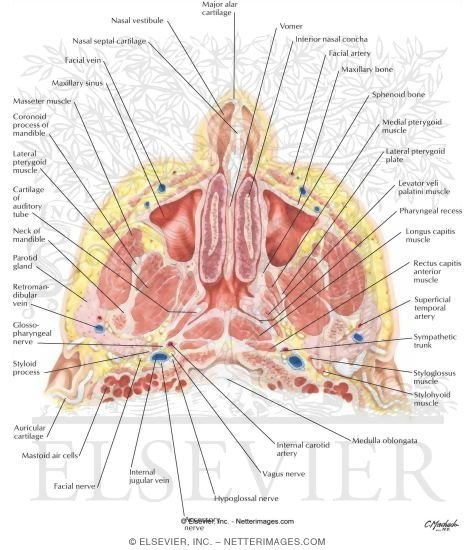 Nose And Paranasal Sinuses Cross Section