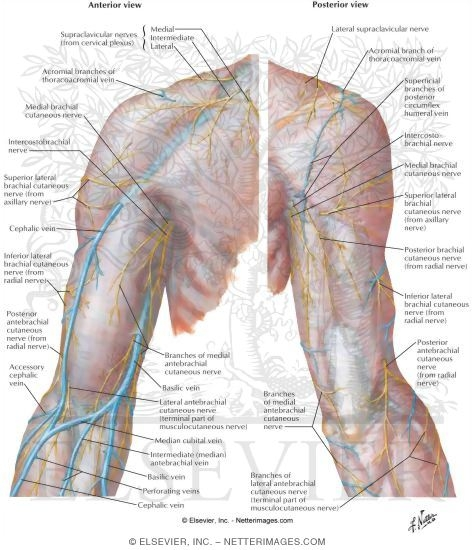 Cutaneous Nerves and Superficial Veins of Shoulder and Arm