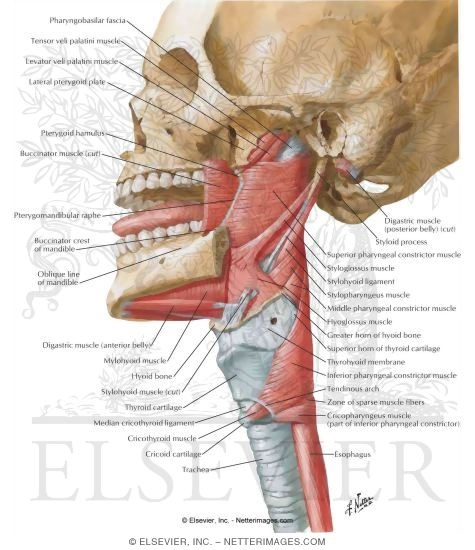 Lateral View of Pharyngeal Muscles Muscles of Pharynx: Lateral View ...