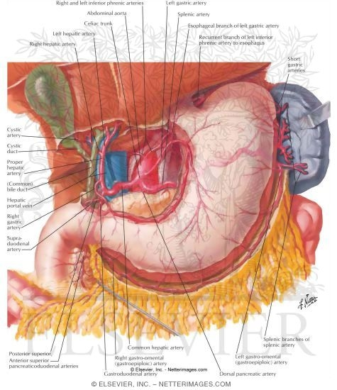 Arteries of Stomach, Liver and Spleen Blood Supply of Stomach and ...