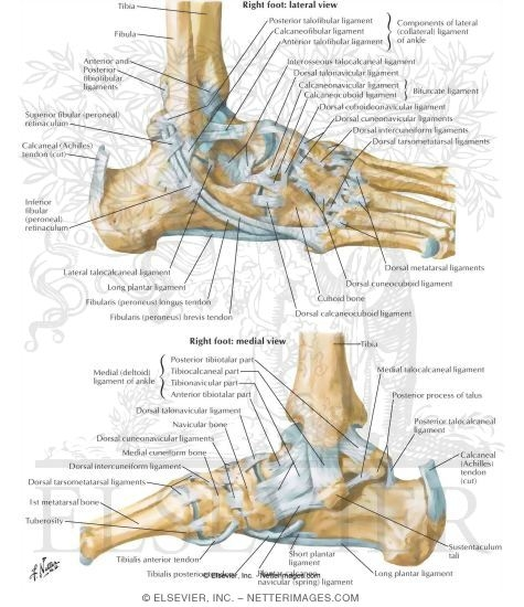 Ligaments and Tendons of Ankle