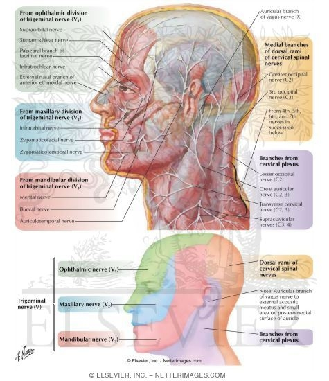 Cutaneous Nerves Of Head And Neck