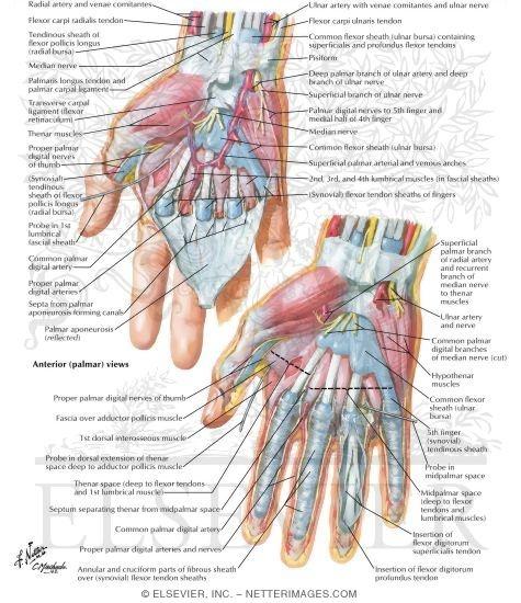 Palmar Deep Fascia Wrist and Hand: Deeper Palmar Dissections