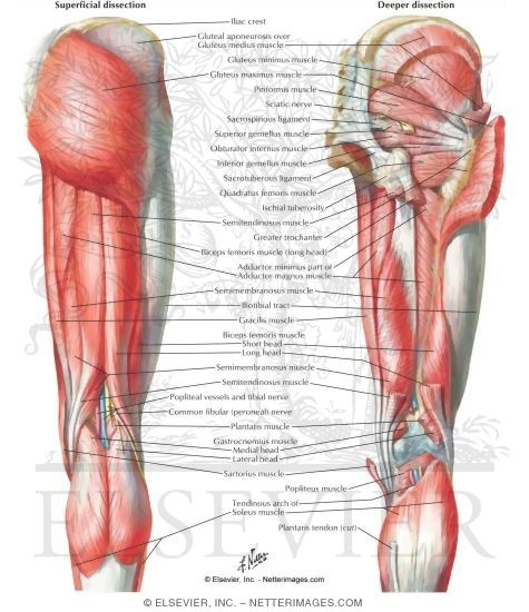 of back of hip and thigh muscles of hip and thigh: posterior views, Human body