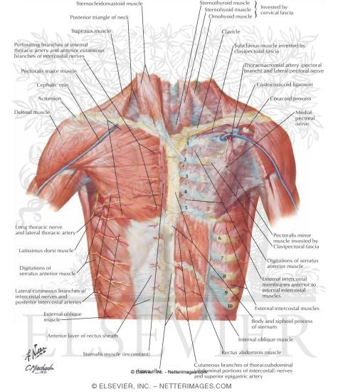 Thoracic wall anterior wall of thorax anterior thoracic wall anterior wall of thorax ccuart Choice Image