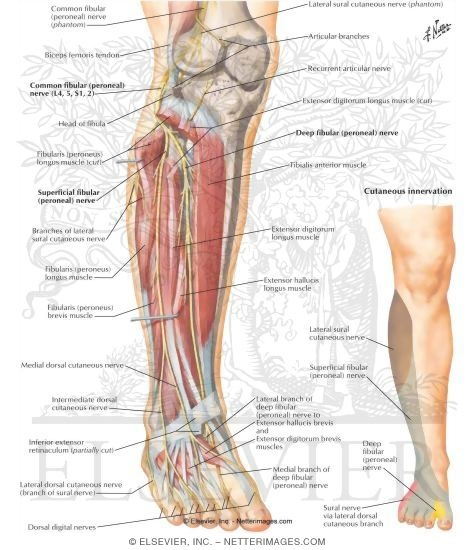 Common Peroneal Nerve (L4, L5; S1, S2) Common Fibular (Peroneal) Nerve
