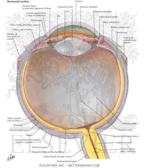 Diagram Of Eye Ball Globe - DIY Enthusiasts Wiring Diagrams •