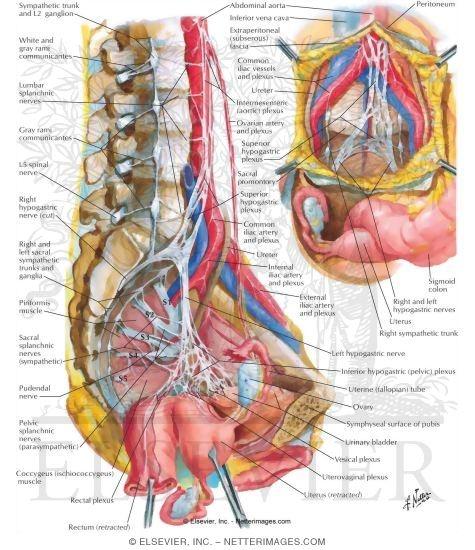 Human Pelvis Diagram Nerve Product Wiring Diagrams