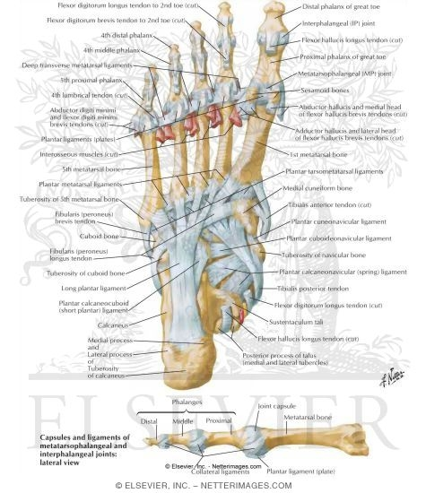 Illustration of Tendon Insertions and Ligaments of Sole of Foot Ligaments and Tendons of Foot: Plantar View from the Netter Collection
