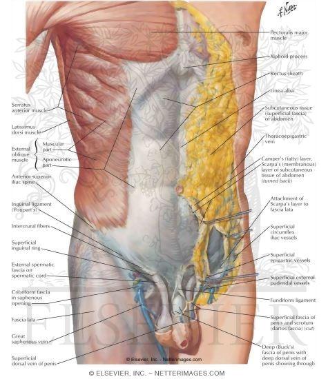 Anterior Abdominal Wall Superficial Dissection Anterolateral