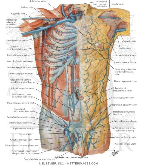 Welcome to netter images veins of anterior abdominal wall venous drainage of the abdomen ccuart Image collections