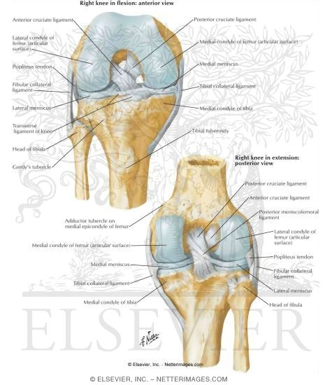 Cruciate And Collateral Ligaments Of Right Knee Joint Knee Cruciate