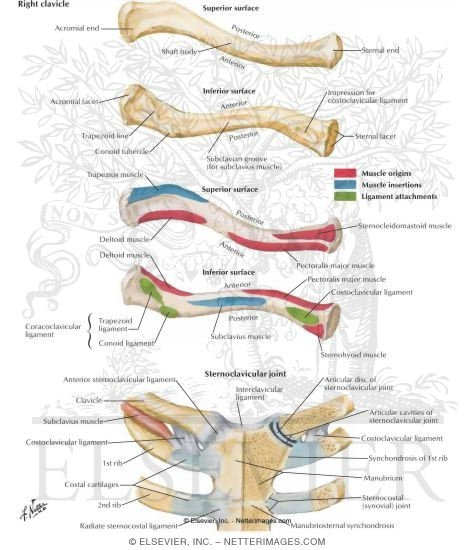 Clavicle and Sternoclavicular Joint Right Clavicle and ...