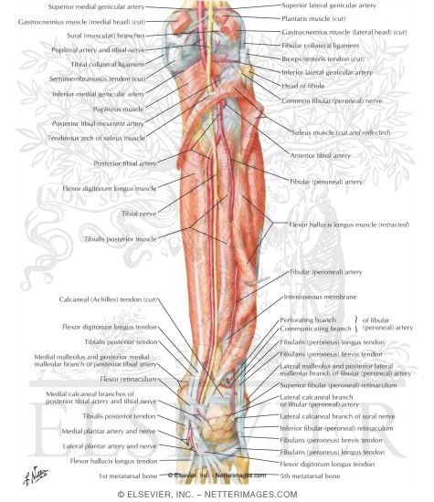 Arteries And Nerves Of Leg Deep Dissection Posterior View