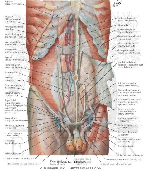 Abdominal Wall Deep Dissection Anterolateral Abdominal Wall