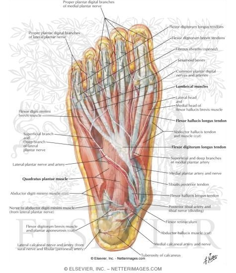 Muscles Of Sole Of Foot Second Layer
