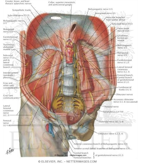 Of abdomen and of perineum innervation of abdomen and of perineum ccuart Images