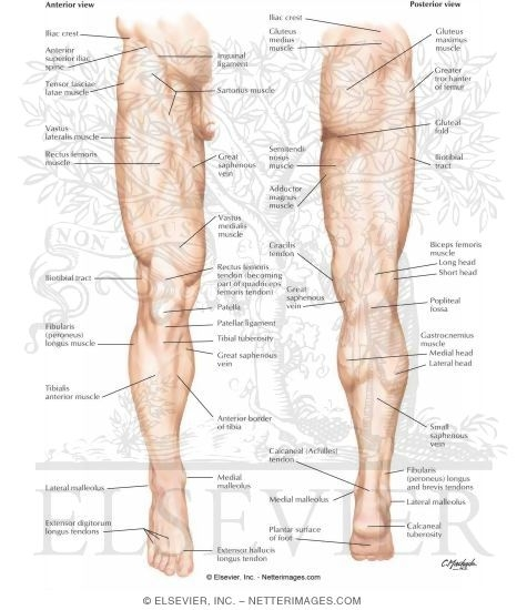 Lower Limb: Surface Anatomy