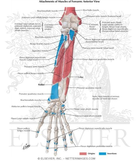 Attachments of Muscles of Forearm: Anterior View