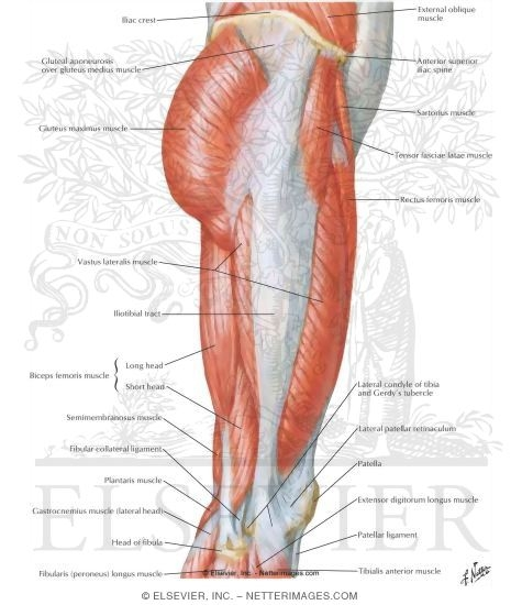 of hip and thigh: lateral view, Human body