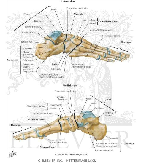 bones of foot, Human Body