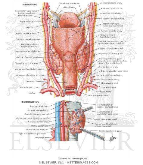 Parathyroid Glands