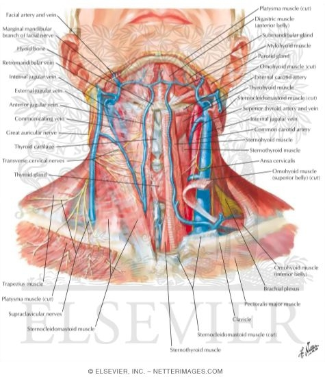 Superficial Veins And Cutaneous Nerves Of Neck