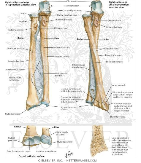 Bones of Forearm Osteology of the Forearm
