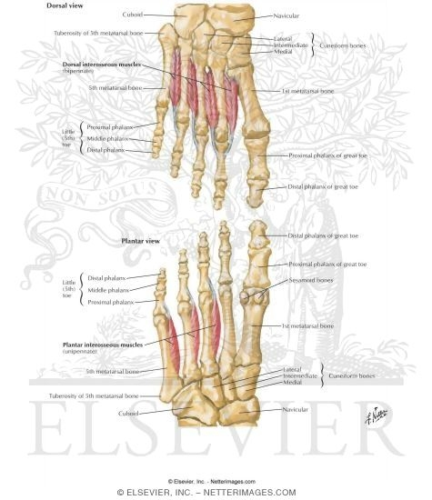 Interosseous Muscles of Foot Muscles: Fourth Plantar Layer